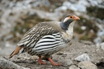 Tibetan Snowcock (Tetraogallus tibetanus)